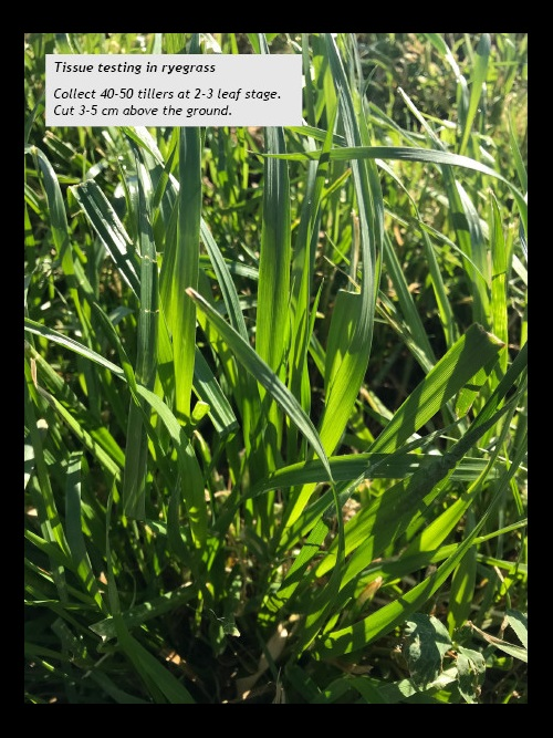 Collect 40-50 tillers at 2-3 leaf stage. Cut 3-5 cm above the ground